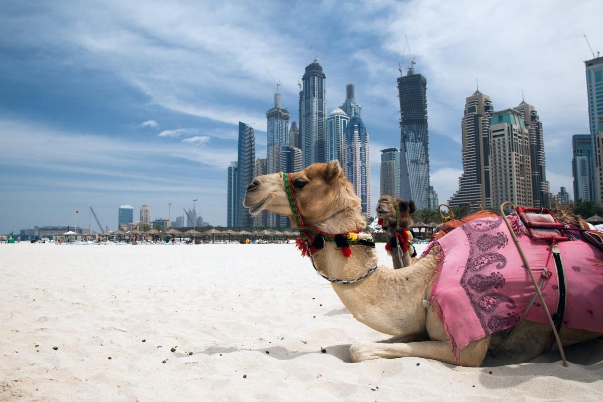Pihenő tevék Dubai tengerpartján